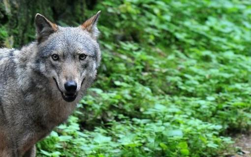 La Svizzera ha deciso: via libera all'abbattimento di tre lupi nel Canton Grigioni