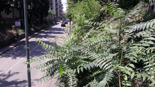 Gli arbusti della scarpata nei pressi del sottopasso, in via Tasso