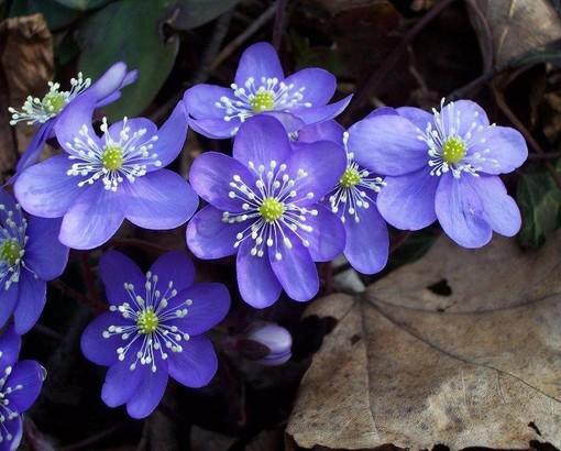 Aria di primavera nei prossimi giorni: l'Erba trinità è la pianta del mese nella foto della Società Astronomica G.V. Schiaparelli