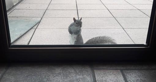 A due passi dal centro di Busto, uno scoiattolo grigio alla portafinestra