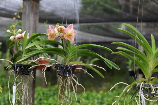 Orchidee con le radici secche: che cosa fare?